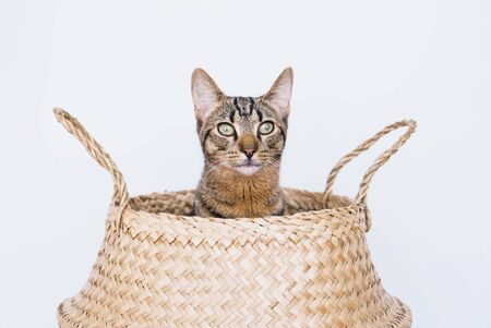 Young European shorthair cat sitting in wicker basket and looking at camera against white background, close up. Playful and cute mackerel tabby kitty. Space for text. Domestic animals.