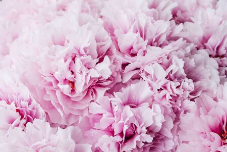 Heap of fresh beautiful purple pink peony flowers in full bloom, close up, top view. Flowery summer texture for background. Spring blossoms.