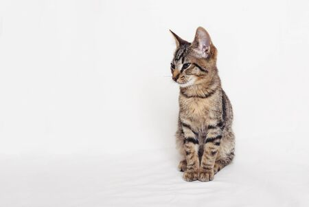 Beautiful young European Shorthair cat sitting on white background. Space for text. Mackerel tabby coat colour. Cute little sleepy kitten, sideview.