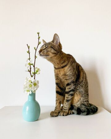 Young European Shorthair cat smelling fresh white blooming flowers in vase on white background. Tabby kitty and spring blossoms. Copy space. Stock Photo