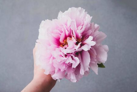 Hand holding single fresh and fluffy beautiful pink peony flower in full bloom against gray background, close up. Space for text. Spring blossoms. Florist composing bouquet.