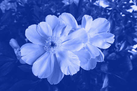 Beautiful fresh peony flower in full bloom in the garden.