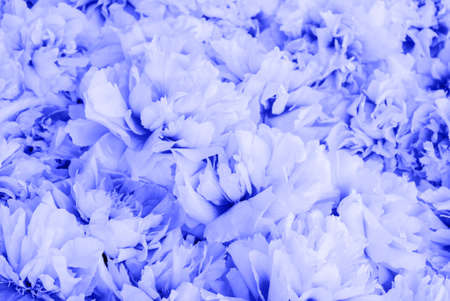 Beautiful fresh fluffy blue peony flowers in full bloom, close up. Flowery summer texture for background. Heap of blooming peonies. Color of the year 2020.