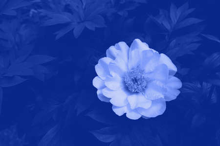 Beautiful fresh peony flower Bartzella in full bloom in the garden, close up. Blue color. Copy space. Summer flowers. Nature background.