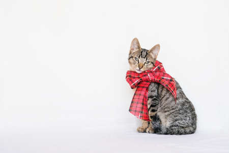 Beautiful mackerel tabby kitten with festive ribbon. Cute young European Shorthair cat wearing red Christmas bow sitting on white background. Copy space. New Year party concept.
