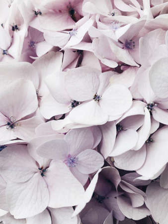 Beautiful fresh pastel colored hydrangea flower in bloom.