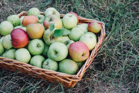 Apple harvest season, freshly picked organic apples in a basket, from above, green grass background. Homestead fruit. Reklamní fotografie