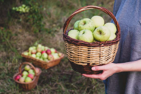 Apple harvest season, woman holding freshly picked organic apples in a basket, close up. Homestead fruit. Grow your food concept. Sustainable lifestyle.