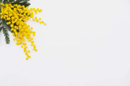Bunch of yellow mimosa flowers in full bloom on white background, top view. Spring blossoms. Stock Photo