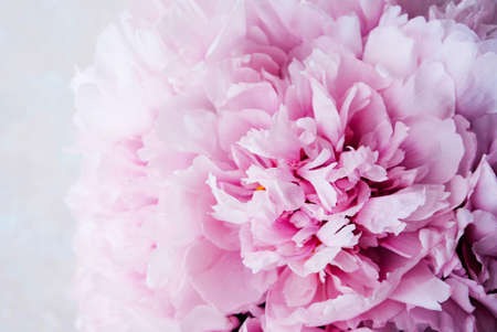 Mono bouquet of fresh pink beautiful peony flowers in full bloom on beige background, top view, close up. Spring or summer blooms.