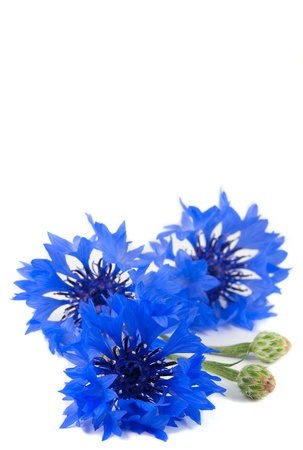 bachelor s button: Small bunch of flower, wild vivid big blue cornflower and small green bud isolated  Symbol of romantic and tender