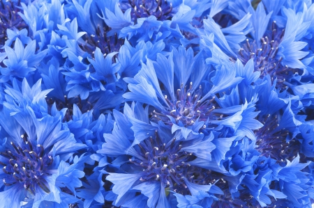 Close up of beautiful blue flower of cornflower photo