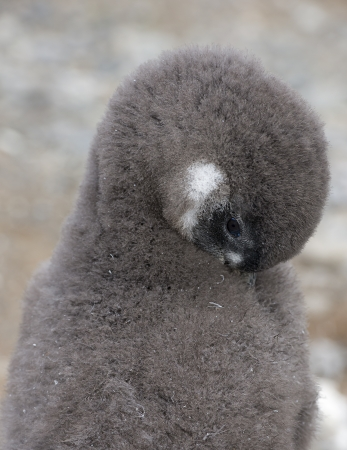 Baby penguin photo