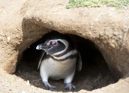 burrow: Magellanic penguin in his underground burrow