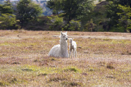 White domestic llama and his cute baby photo