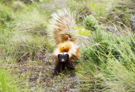 Patagonian hog-nosed skunk Фото со стока