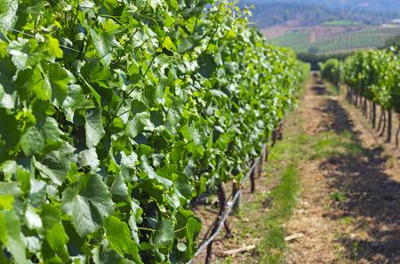 terroir: Casablanca valley vineyard