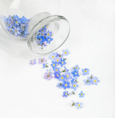 veronica flower: Buds of cute Veronica flower Stock Photo