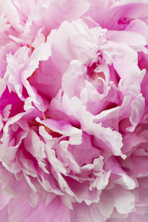 Pink peony flower, close-up, shallow DOF photo