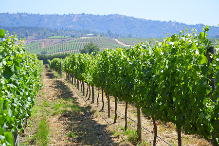 wine country: Casablanca valley vineyard, Chile