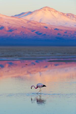 animal park: Flamingo, pink sunset above Atacama desert