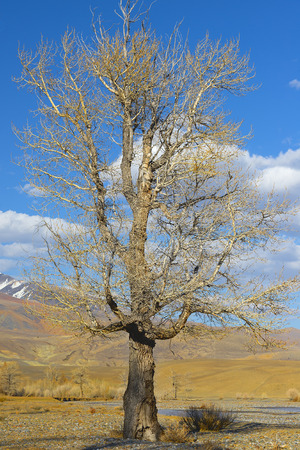 poplar: Lone poplar in Altai Mountains