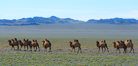 camels: camels
