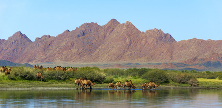 gobi: Camels watering place
