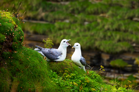 Seagulls on a coast of Atlantic ocean, Scotland