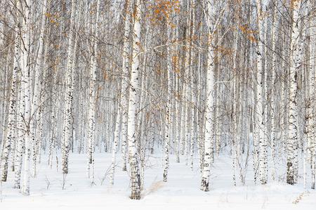 Paesaggio invernale russo con betulle bianche Archivio Fotografico - 71385062