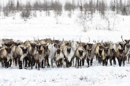 Le renne migrano per un pascolo migliore nella tundra vicina al cerchio polare in una fredda giornata invernale Archivio Fotografico - 72529993