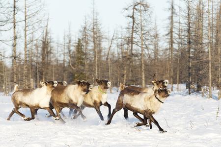 Le renne migrano per un pascolo migliore nella tundra vicina al cerchio polare in una fredda giornata invernale Archivio Fotografico - 72496499