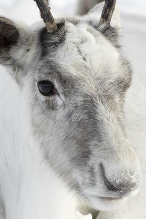 Capo di renne, un anno di renne Archivio Fotografico - 72529187