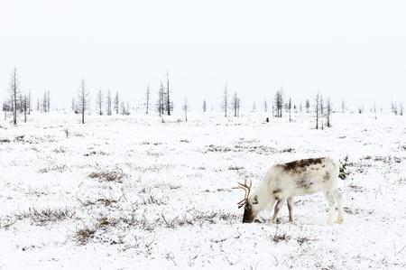 Renna pascola nella tundra vicina al cerchio polare in un freddo giorno d'inverno. Penisola di Yamal, Siberia. Archivio Fotografico - 76570021