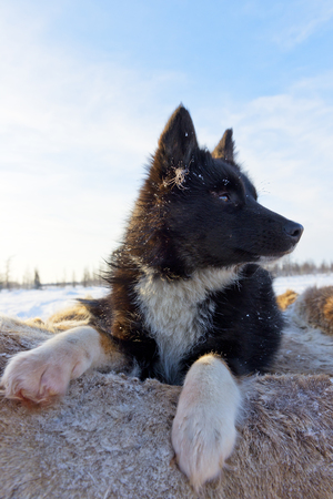Nenets laika rests after a grazing of reindeer herd. Nenets laika is a working dog breed uses for reindeer husbandry by nomads tribes.