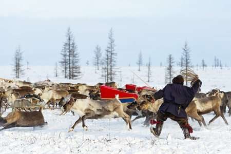 Nomad shepherd catches reindeer by lasso during migration. Yamal Peninsula, Siberia.