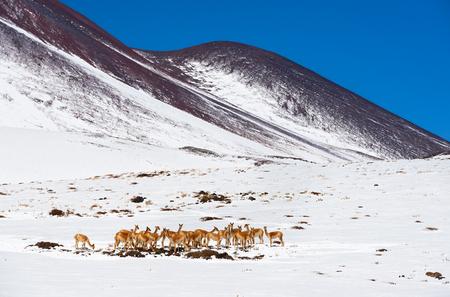 Gregge di Alpacas su un pascolo nel deserto di Atacama. Insolito tempo freddo e nevicate coprirono tutta la regione di San Pedro de Atacama. Chile Archivio Fotografico - 75986020