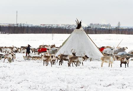 Yamal, Russia - 17 febbraio 2017: Musher di nazionalità Nenets fa un campo di nomade in una periferia della città di Labytnangi. Nomadi per perdere pascoli nativi e per la rapida urbanizzazione del territorio polare. Archivio Fotografico - 79042754