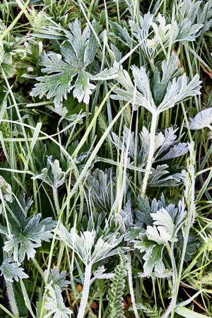 Rime su un erba. Breve gelo durante l'estate. Archivio Fotografico - 81097817