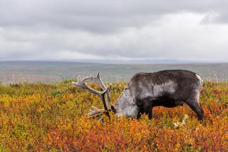 Avka è un nome generico per renna domestica. Mandria di renne sfiora la tundra vicina al cerchio polare. Archivio Fotografico - 89985745