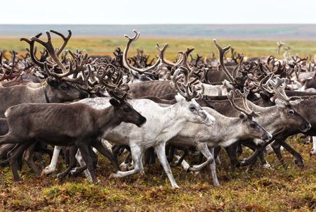 Le renne migrano per il pascolo migliore nella tundra vicina al circolo polare. Penisola di Yamal, Siberia. Archivio Fotografico - 90002380