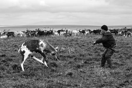 Yamal, Russia - 2 settembre 2017: Il pastore del nomade prende le renne dal lasso durante la migrazione. I nomadi migrano con la sua mandria di renne tutto l'anno alla ricerca di un pascolo ricco. Archivio Fotografico - 90003854