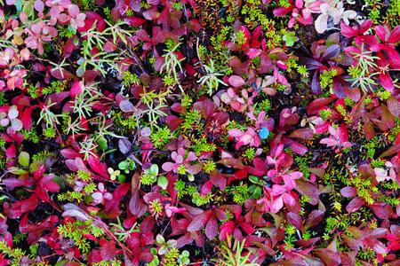 Vegetazione colorata tundra Archivio Fotografico - 89985746