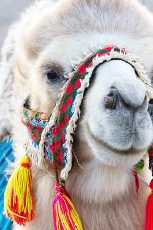 Testa di cammello battriano bianco con una tradizionale imbracatura colorata, Mongolia Archivio Fotografico - 90170404