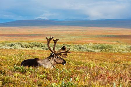 Avka è un nome generico per renna domestica. Mandria di renne sfiora la tundra vicina al cerchio polare. Archivio Fotografico - 90884947
