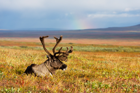 Avka is a general name for domesticated reindeer. Herd of reindeer grazes in the tundra nearby of the polar circle.