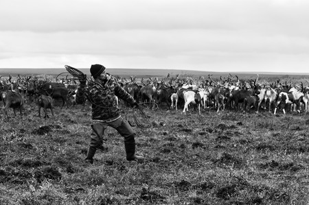 Yamal, Russia - September 2, 2017: Nomad shepherd catches reindeer by lasso during migration. Nomadic people migrates with his reindeer herd whole year seeking for rich pasture.