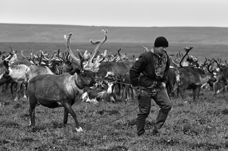 Yamal, Russia - September 2, 2017: Nomad herder leads reindeer. Nomadic people migrates with his reindeer herd whole year seeking for rich pasture.