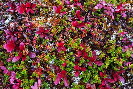 Vegetazione colorata tundra Archivio Fotografico - 89985747