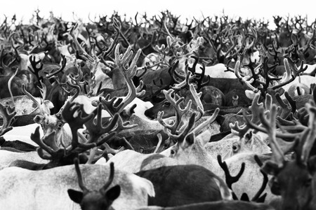 Reindeer migrate for the best grazing in the tundra nearby of the polar circle. Yamal peninsula, Siberia.